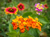 Lantana and gallardia in Texas