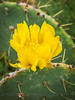 Prickly pear cactus bloom in Texas
