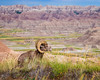 Bighorn in Badlands