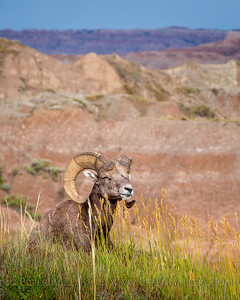 Bighorn in Badlands