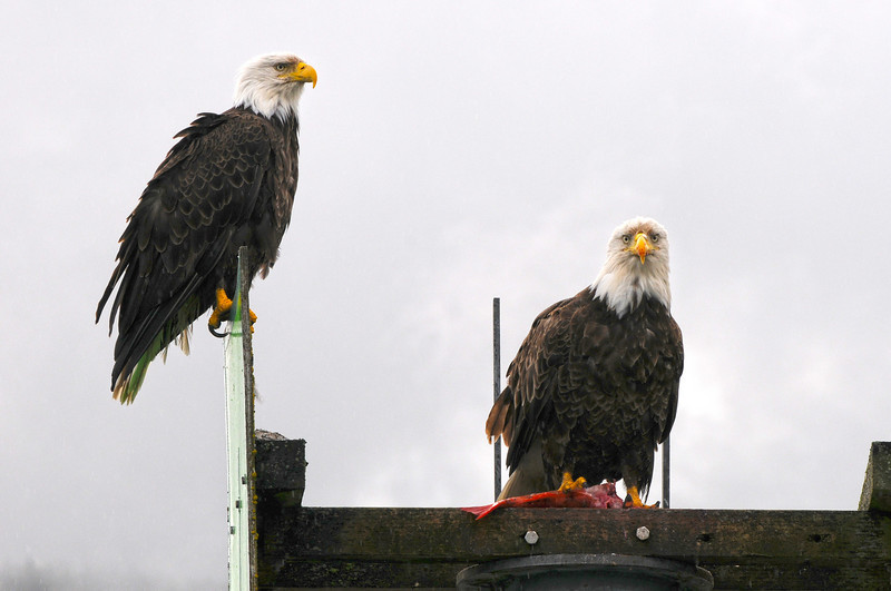 Male and Female Bald Eagle eating some freshly caught salmon.