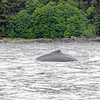 Whale Watching in Juneau. Shot at 1/250th of a second and the whales back is still a little blurred in motion!