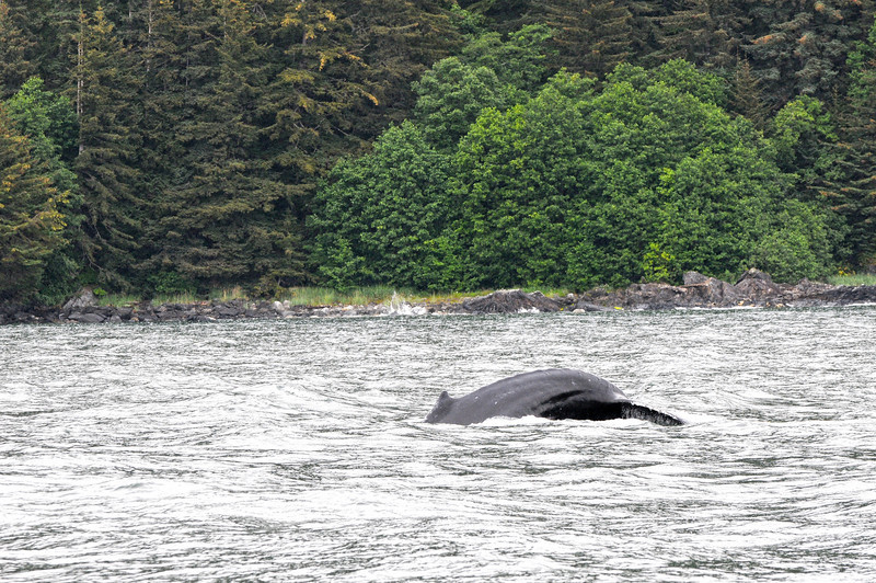 Whale Watching in Juneau - just about to get a nice tail and the camera dies :(