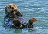 Kenai Fiords Otter Munching Away