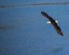 Kenai Fiords Bald Eagle