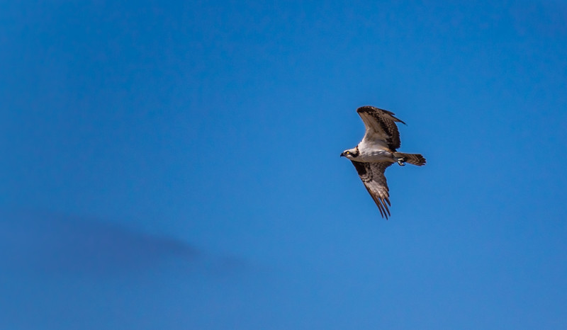 Osprey over Russian River in Jenner