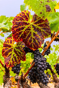 Autumn Handley Cellars Pinot Noir