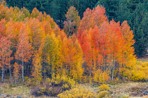 Hope Valley Fall Aspens