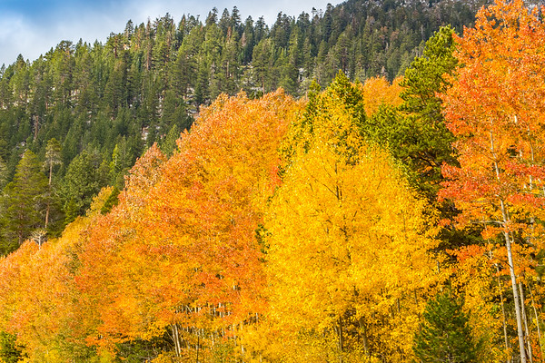 Hope Valley Fall Aspens
