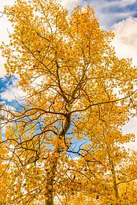Fall Aspen on Virgina Lakes Rd.