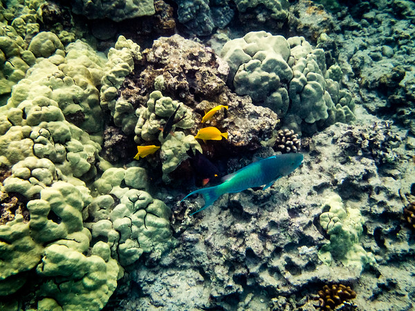 Redlip Parrotfish and Yellow Tang