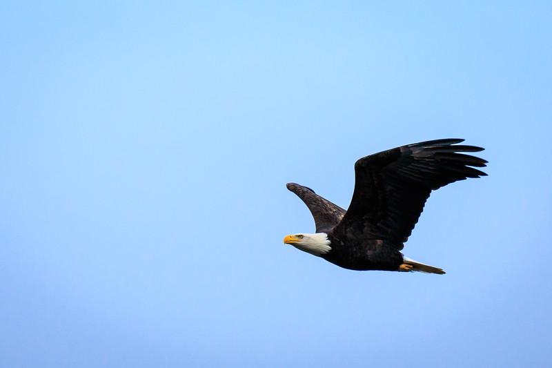 Bald Eagle over the Columbia River