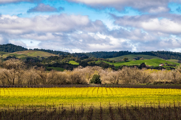 Early Spring in Sonoma Vineyard