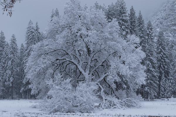 Snowy Cook's Meadow Elm Tree