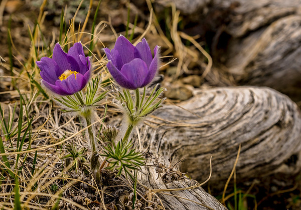 Crocus-11-Edit_1