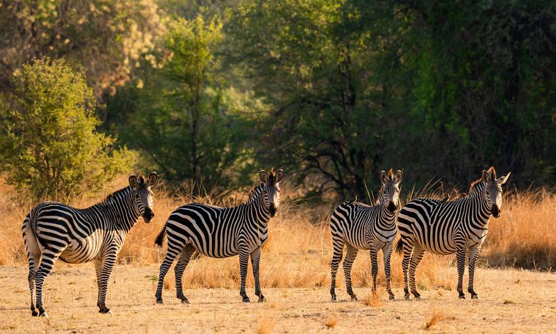 Posing Zebras