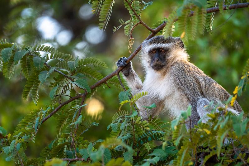 Vervet Monkey • South Luangwa