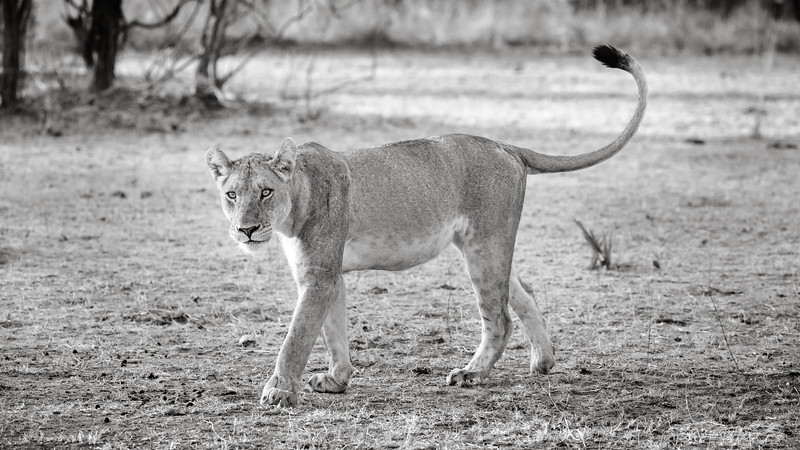 Curious Lioness