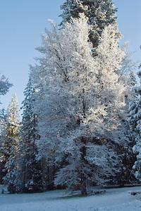 Snow Covered Tree, Wawona