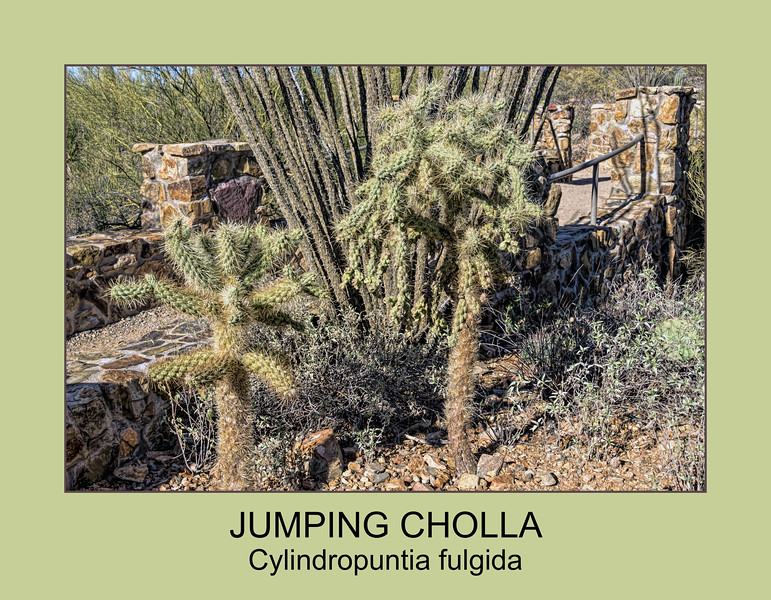 Jumping Cholla - labeled version