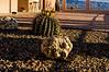 Fishhook barrel cactus, Ferocactus wislizeni
