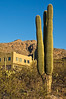 Three-trunked saguaro