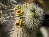 D085-2009  Fruiting cholla<br /> <br /> Cholla Cactus Garden, Pinto Basin Road<br /> Joshua Tree National Park, California<br /> March 26, 2009