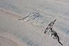 Tracks.<br /> <br /> Silver Strand State Beach, Coronado Island, CA.