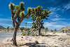 D085-2009  Damaged Joshua tree at the side of the road.<br /> <br /> Scenes along Park Boulevard, or Loop Road, between the west (Joshua Tree) and north (Oasis) entrances to the park.<br /> Joshua Tree National Park, California<br /> March 26, 2009