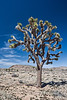 D085-2009  One of many fine specimens of Joshua Tree that grow close to the road along this stretch of Park Blvd.<br /> <br /> Scenes along Park Boulevard, or Loop Road, between the west (Joshua Tree) and north (Oasis) entrances to the park.<br /> Joshua Tree National Park, California<br /> March 26, 2009
