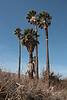 Palm Trees at Joshua Tree NP