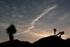 Contrails over Joshua Tree at sunrise.<br /> <br /> Joshua Tree, California.