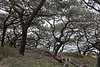 Torrey pines, one of the rarest pines on earth.<br /> <br /> Southern California.<br /> March, 2009