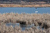 Reed beds separate the resting birds from the hikers and drivers on the road that circles the pools.<br /> <br /> Squaw Creek National Wildlife Refuge,<br /> Mound City, Missouri<br /> Early December.