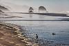 Foraging alone.  Gull on Tolovana Beach, Oregon