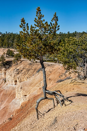 Canyon rim with limber pine