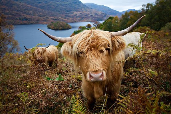 Nosy cow!
