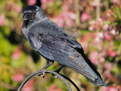 Jackdaw with one eye