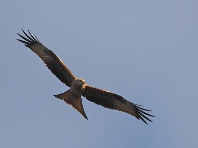 Red kite wings