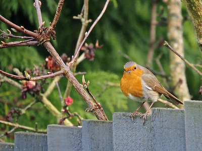 Robin staring