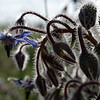 Borage, intense-backlight closeup