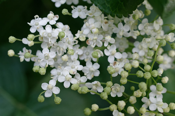 Cluster of elder flowers