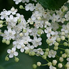 Cluster of elder flowers