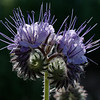 Fresh cluster of lacy phacelia