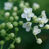 Elder flowers & buds in open shade