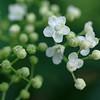 Elder flowers & buds in open shade