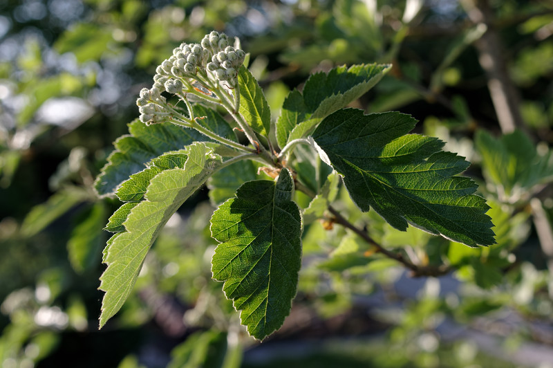 Swedish whitebeam twig with new leaves & flower buds