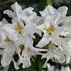 Stand-out cluster of white rhododendron flowers