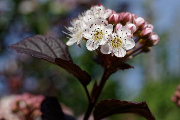 Bokehlicious twig of blooming ninebark