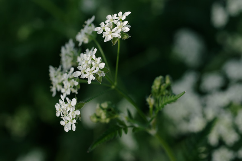Yarrow blooming by the wayside